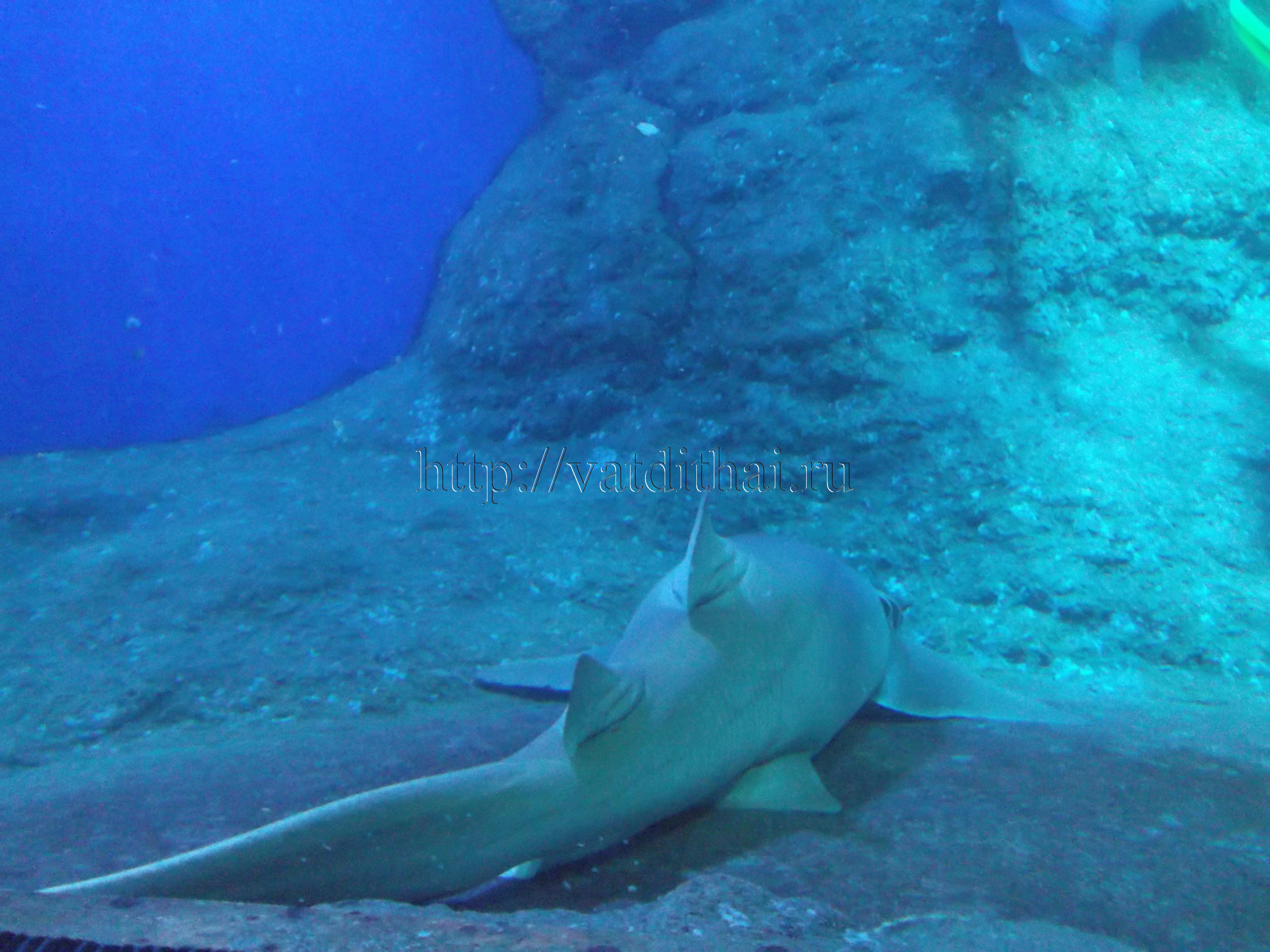 Акула Таиланд