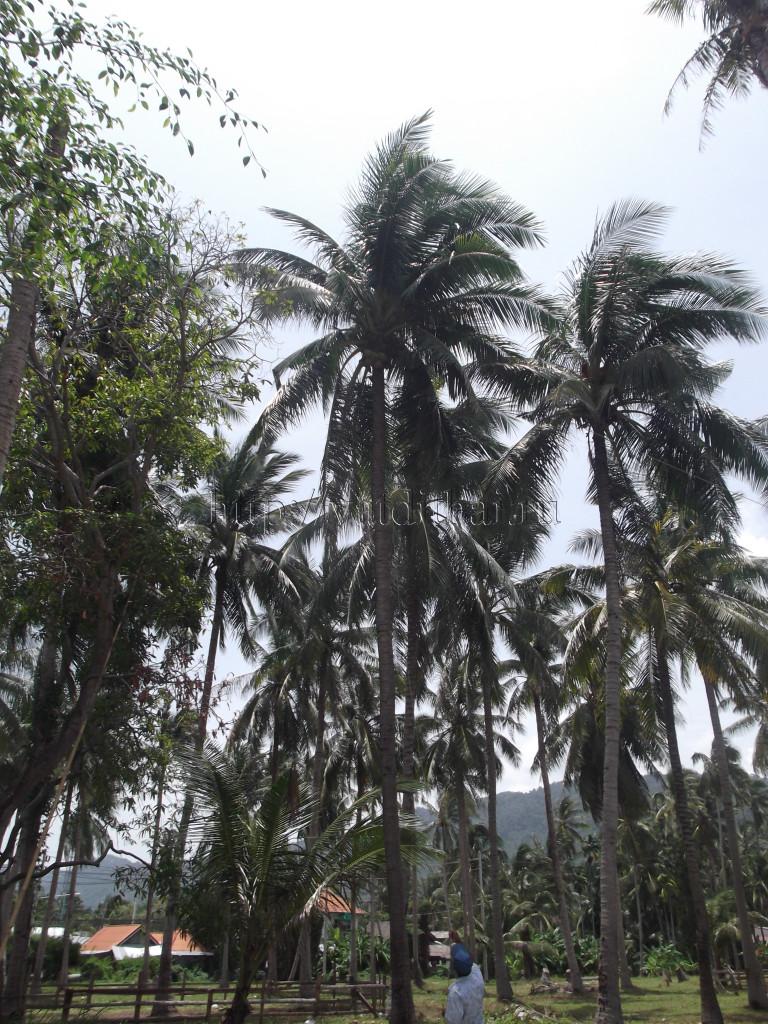 самуи таиланд кокос остров обезьяны