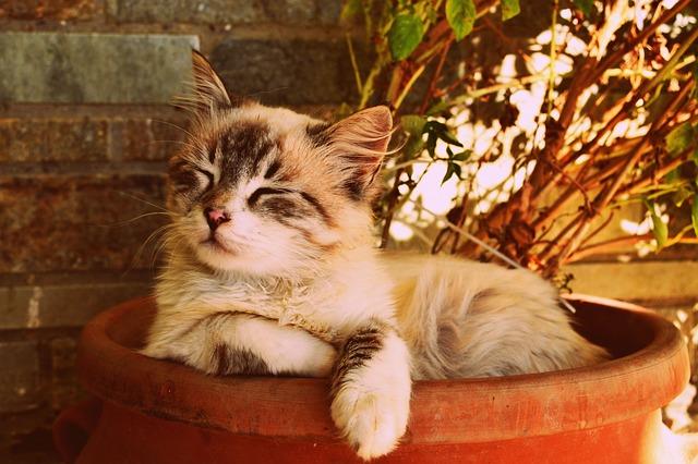 Кошки в Тайланде